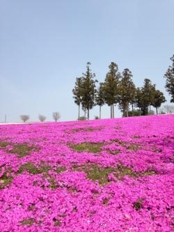 運動公園芝桜